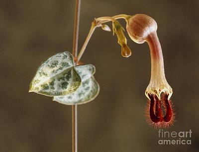 Rosary Vine Ceropegia Linearis Woodii Poster by Vaughan Fleming