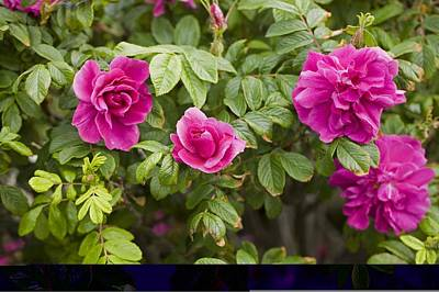Rose (rosa Gallica Var Officinalis) Poster by Science Photo Library