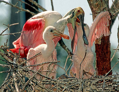 Roseate Spoonbill Feeding Young At Nest Poster