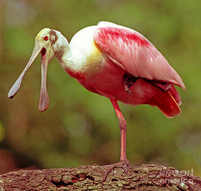 Roseate Spoonbill Poster by Millard H. Sharp