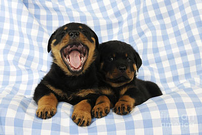 Rottweiler Puppy Dogs Poster by John Daniels
