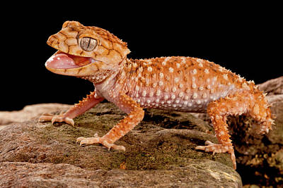 Rough Knob-tail Gecko, Nephrurus Amyae Poster by David Northcott