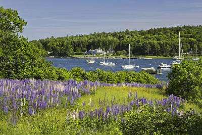 Round Pond Lupine Flowers On The Coast Of Maine Poster by Keith Webber Jr