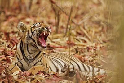 Royal Bengal Tiger Cub Yawning, Tadoba Poster by Jagdeep Rajput
