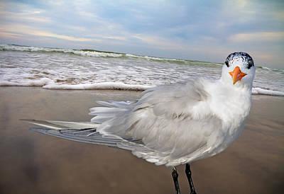Royal Tern Poster by Betsy Knapp