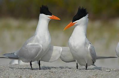 Royal Terns Poster by James Petersen