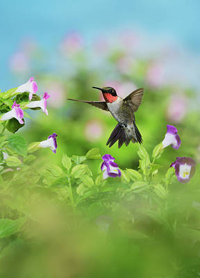 Ruby-throated Hummingbird (archilochus Poster