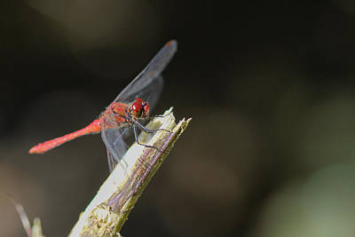 Poster featuring the photograph Ruddy Darter Dragonfly - Sympetrum Sanguineum by Jivko Nakev