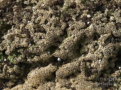 Sabellaria Reefs Fan Worms Poster