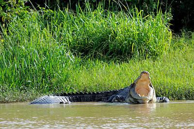 Saltwater Crocodile, Malaysia Poster