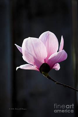 Saucer Magnolia Poster