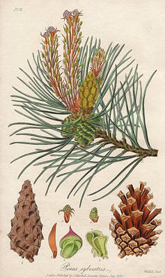 Scots Pine Poster