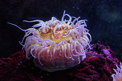 Sea Anemone Poster by Jim West