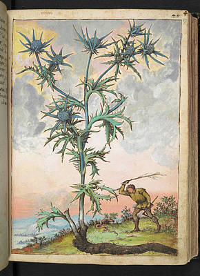 Sea Holly (eryngium Sp.) Poster by British Library