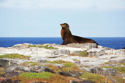 Sea Lion On Rocky Promontory Above Blue Poster by Chris Caldicott