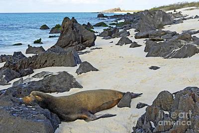 Sea Lion Sleeping On Beach Poster by Sami Sarkis