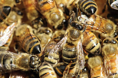 Seattle Honeybees In Beehive Poster by Matt Freedman