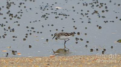 Poster featuring the photograph Semipalmated Sandpiper by James Petersen