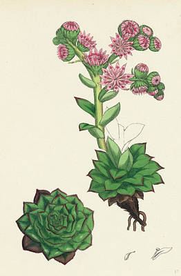 Sempervivum Tectorum Common House-leek Poster
