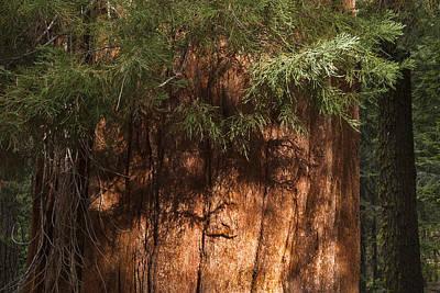 Sequoia Poster