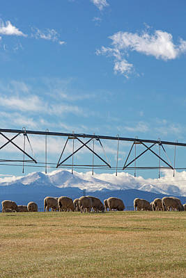 Sheep Grazing Under An Irrigation Boom Poster by Jim West