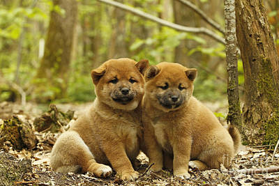 Shiba Inu Puppies Poster by Jean-Michel Labat