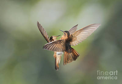 Poster featuring the photograph Shining Sunbeam Hummingbirds by Dan Suzio