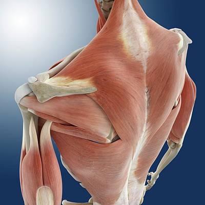 Shoulder And Back Anatomy Poster by Springer Medizin