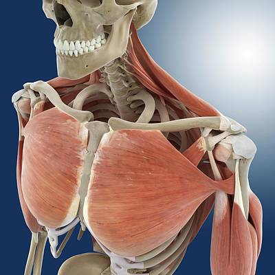 Shoulder And Chest Anatomy Poster by Springer Medizin