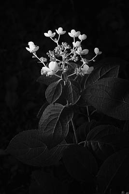 Shrub With White Blossoms Poster by Donald  Erickson