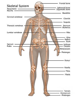 Skeletal System In Male Anatomy Poster by Gwen Shockey