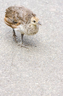 Small Baby Peacock Roaming On Pavement Poster by Jorgo Photography - Wall Art Gallery