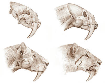 Smilodon Sabre-toothed Cat Poster