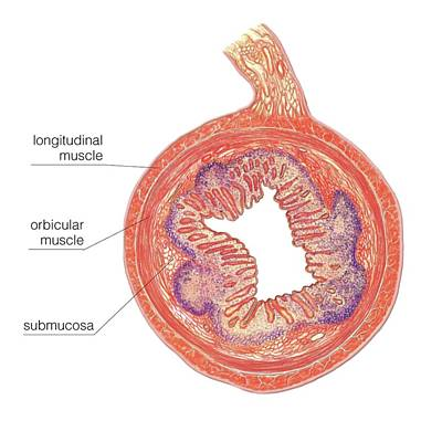 Smooth Muscle In Small Intestine Wall Poster