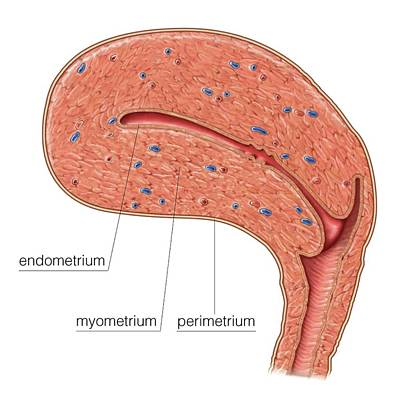 Smooth Muscle In Uterine Wall Poster