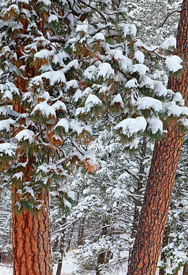 Snow Fills The Boughs Of Ponderosa Pine Poster by Chuck Haney