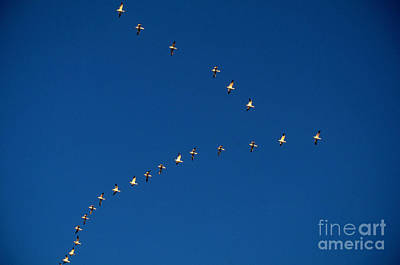 Snow Geese Poster by Art Wolfe