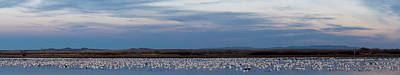 Snow Geese Chen Caerulescens On Large Poster by Panoramic Images