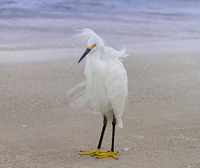 Snowy Egret At The Beach Poster