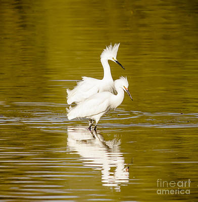 Snowy Egrets Poster by Robert Frederick