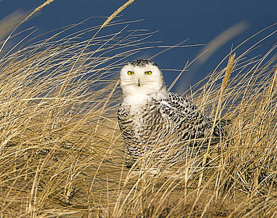 Snowy Owl In The Dunes Poster