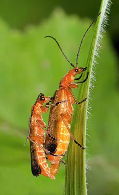 Soldier Beetles Mating Poster by Nigel Downer