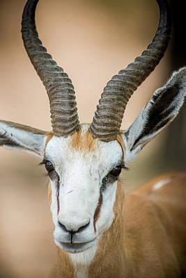 South Africa - Springbok Roaming Poster by Edwin Remsberg