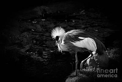 South African Grey Crowned Crane Poster