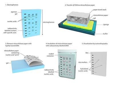 Southern Blot Dna Analysis Poster by Science Photo Library