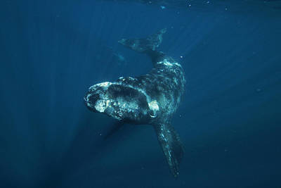 Southern Right Whale Calf Valdes Poster by Hiroya  Minakuchi