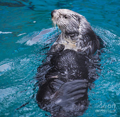 Southern Sea Otter Poster by Mandy Judson