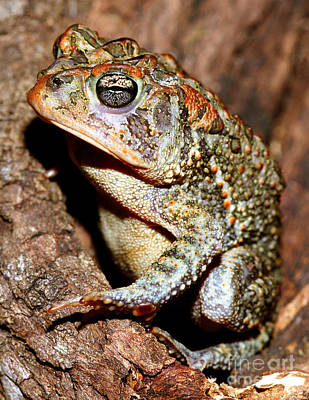 Southern Toad Bufo Terrestris Poster