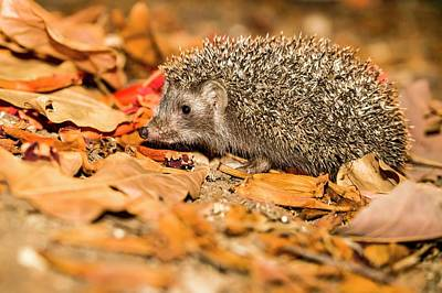 Southern White-breasted Hedgehog Poster by Photostock-israel