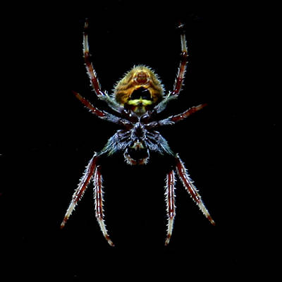 Spider Poster by Joseph G Holland
